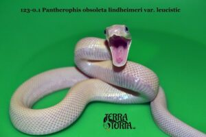 Крысиный полоз (Pantherophis obsoletus)