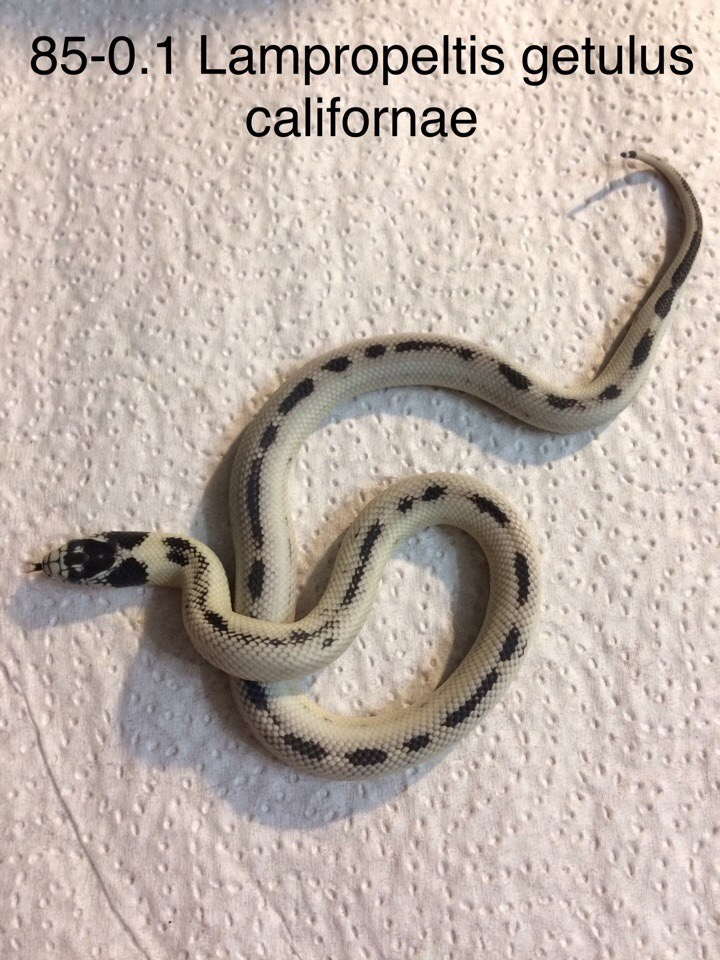 Lampropeltis getula californiae reverse stripe