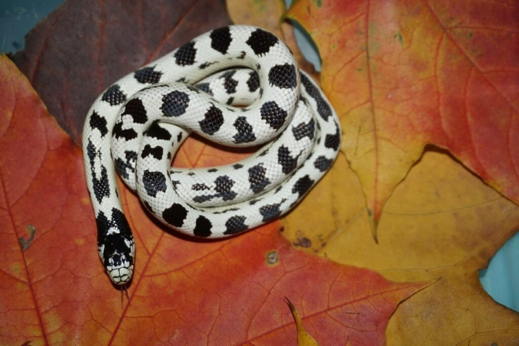 Lampropeltis getula californiae самка